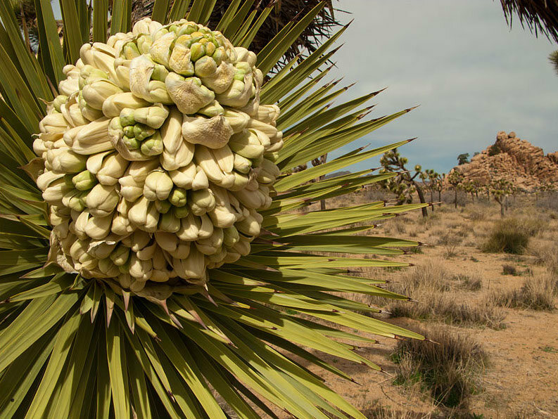 Yucca moths pollinate Joshua trees, then lay their eggs on the plant. The caterpillars eat the seeds, and the cycle continues.