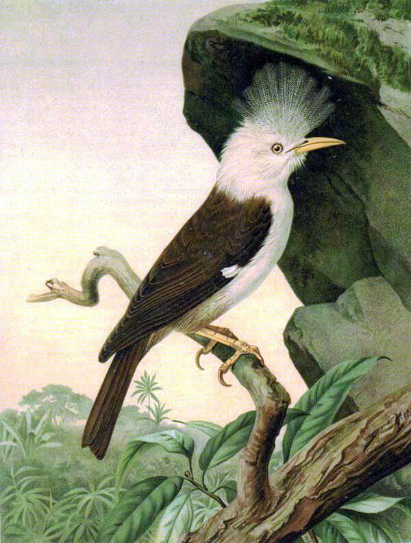One of the species lost after humans arrived on Réunion: the hoopoe starling.