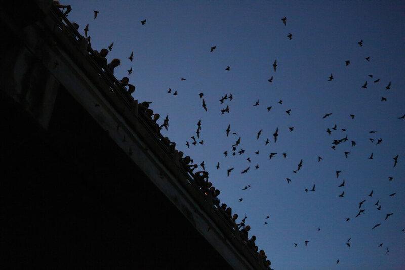 Morcegos Ponte Congresso em Austin, Texas
