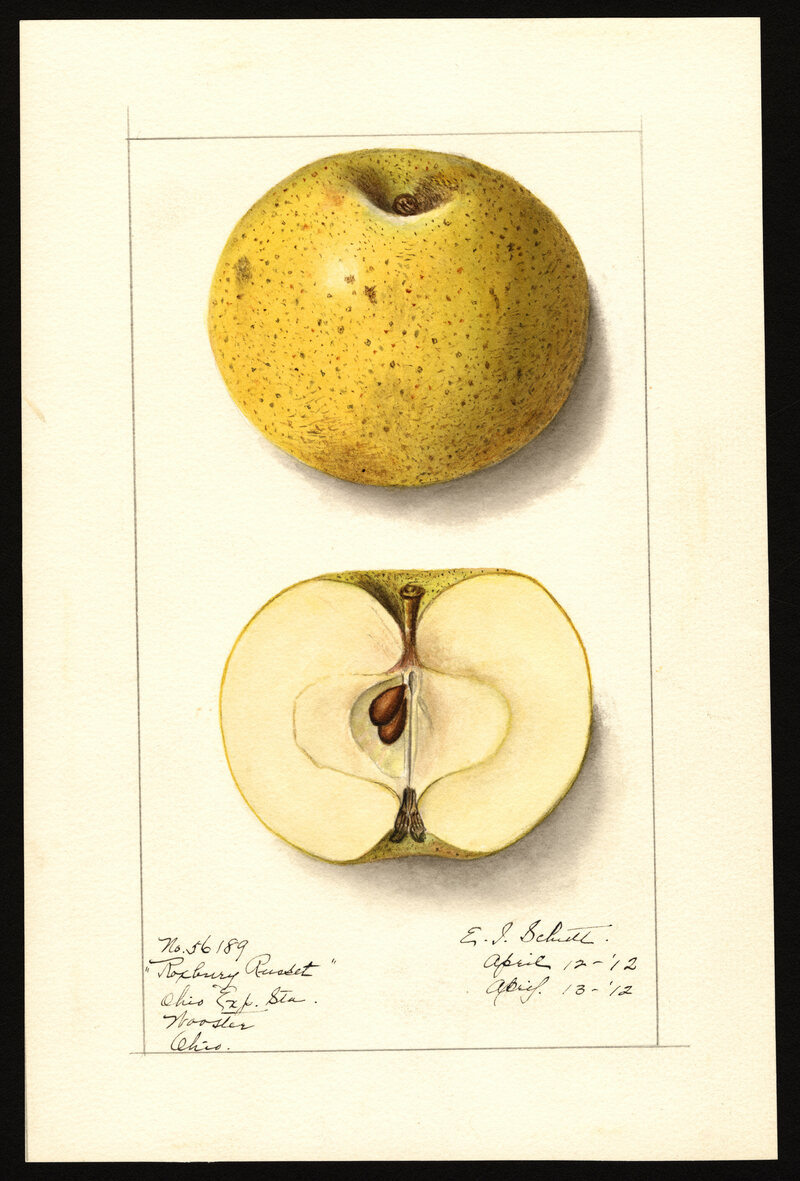 Developed in the 1600s, the Roxbury Russet is the first known edible apple cultivar developed in North America.