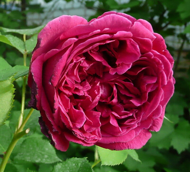Smell You Later Donald Trump How Roses Get Their Names Atlas