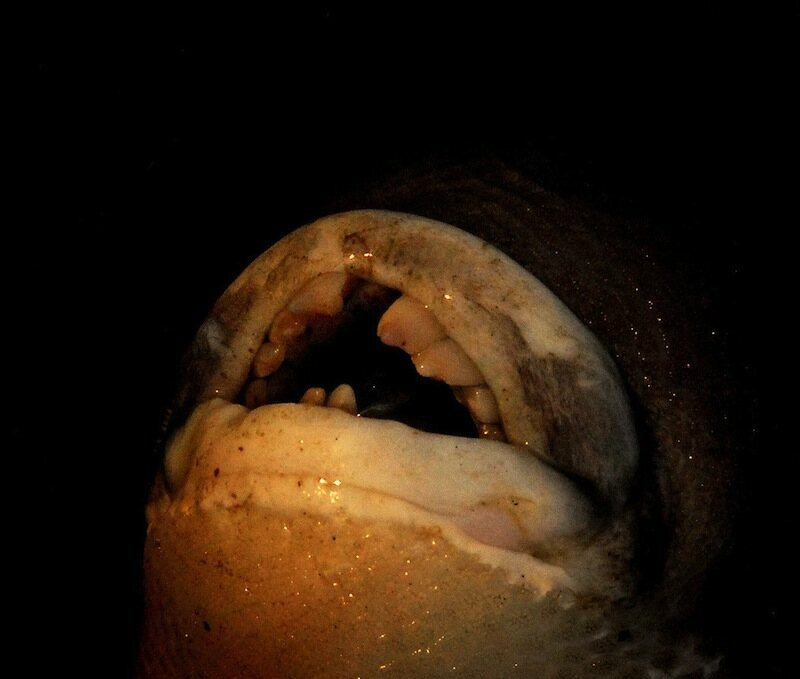 Smile Its The Fish With Human Teeth Gastro Obscura