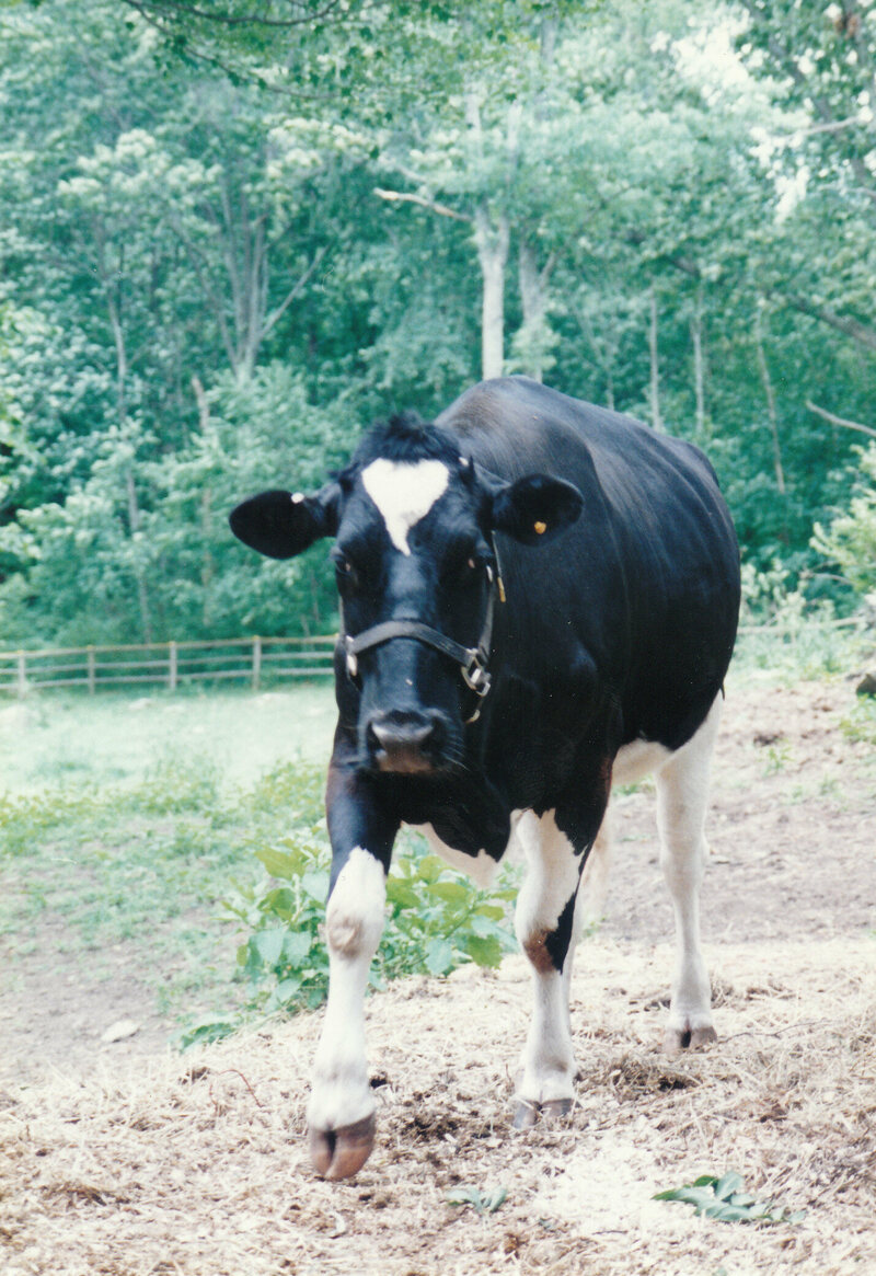 emily the cow ran away from the slaughterhouse and became a star