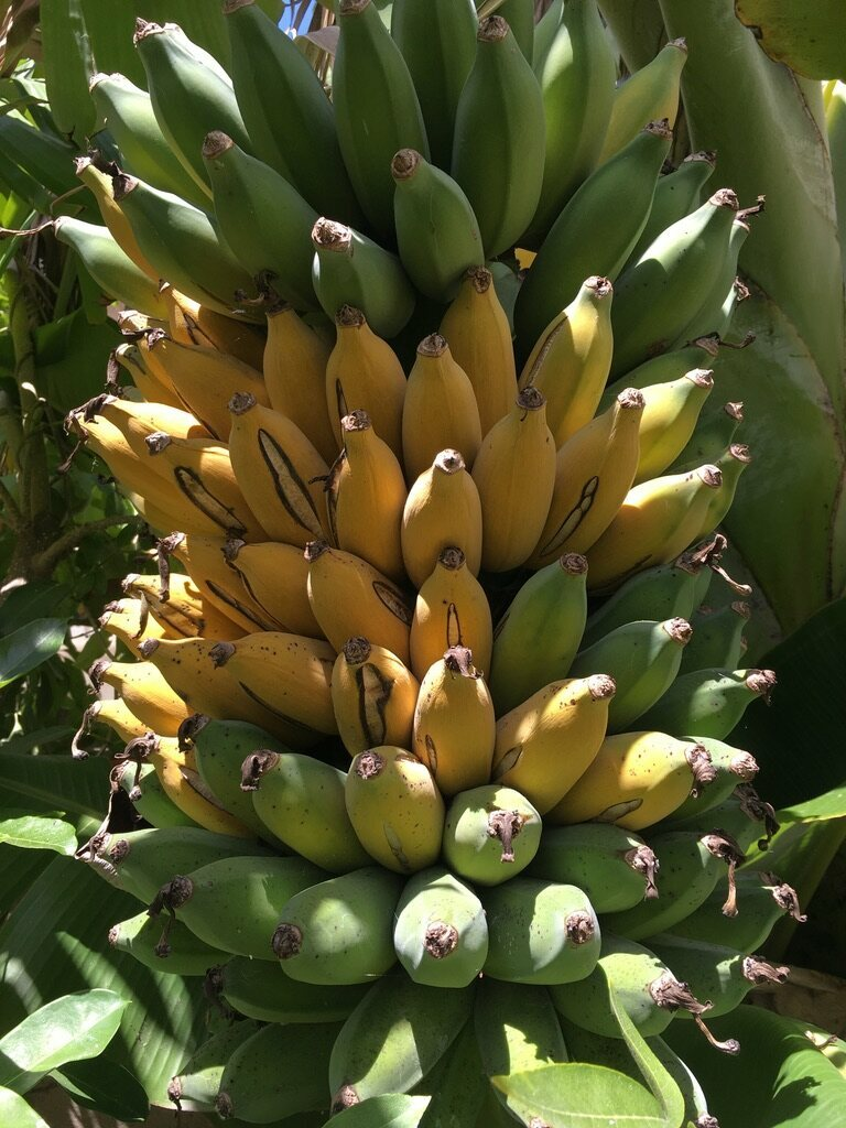 Raghavan has years of experience growing fruit in Southern California, but his plan hinges on bananas.