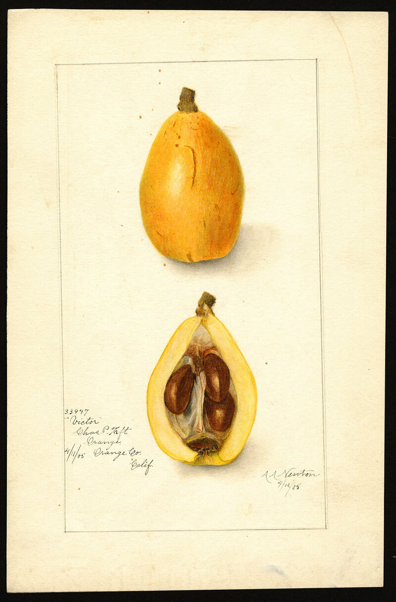 A 1905 watercolor image shows the Victor variety of loquats, with a specimen from Orange County, California.