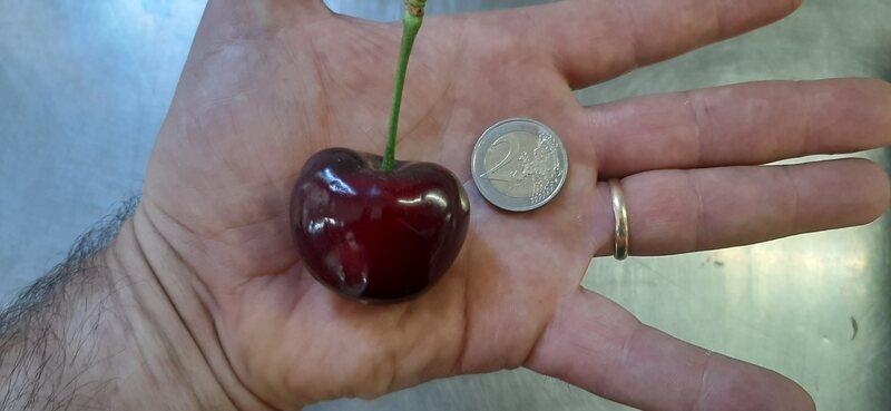 La ciliegia più grande del mondo rispetto alla moneta da 2 euro.