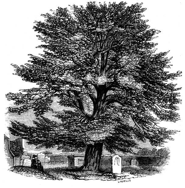 "Churchyard Yew illustrated in Charles Tilt's ""Woodland Gleanings"" (1853)"