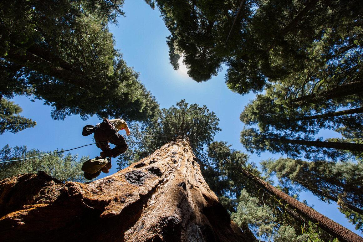 Ascending a sequoia.