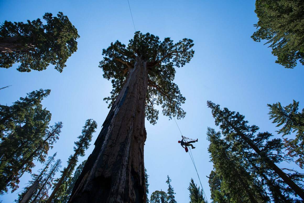 Photographer Lincoln Else ascends a fixed climbing rope to film scientists working within the giant sequoia trees.