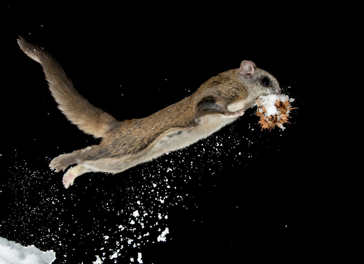 See the Nighttime Acrobatics of Montana's Flying Squirrels ...