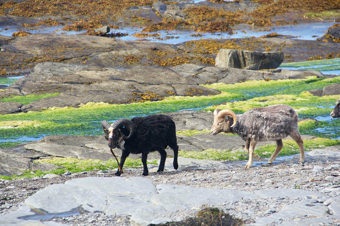 North Ronaldsay sheep graze on seaweed when the tide is out.