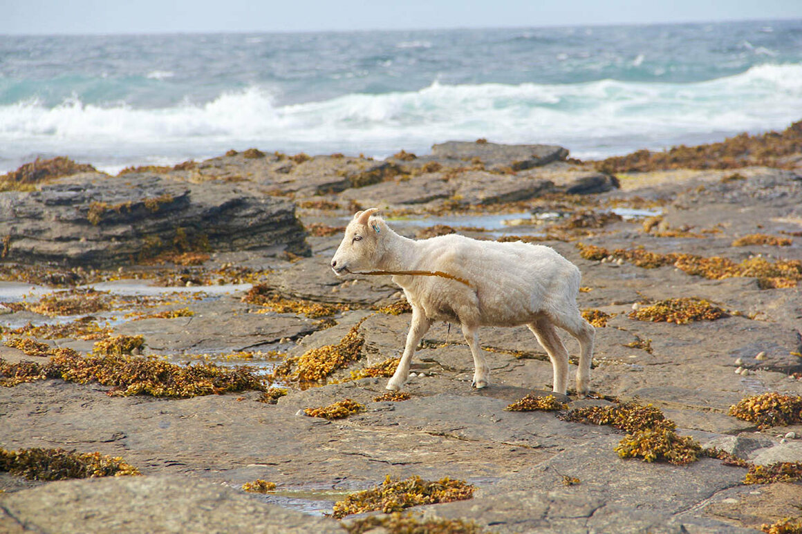 The sheep's seaweed diet means they are susceptible to copper poisoning and must avoid eating too much grass.