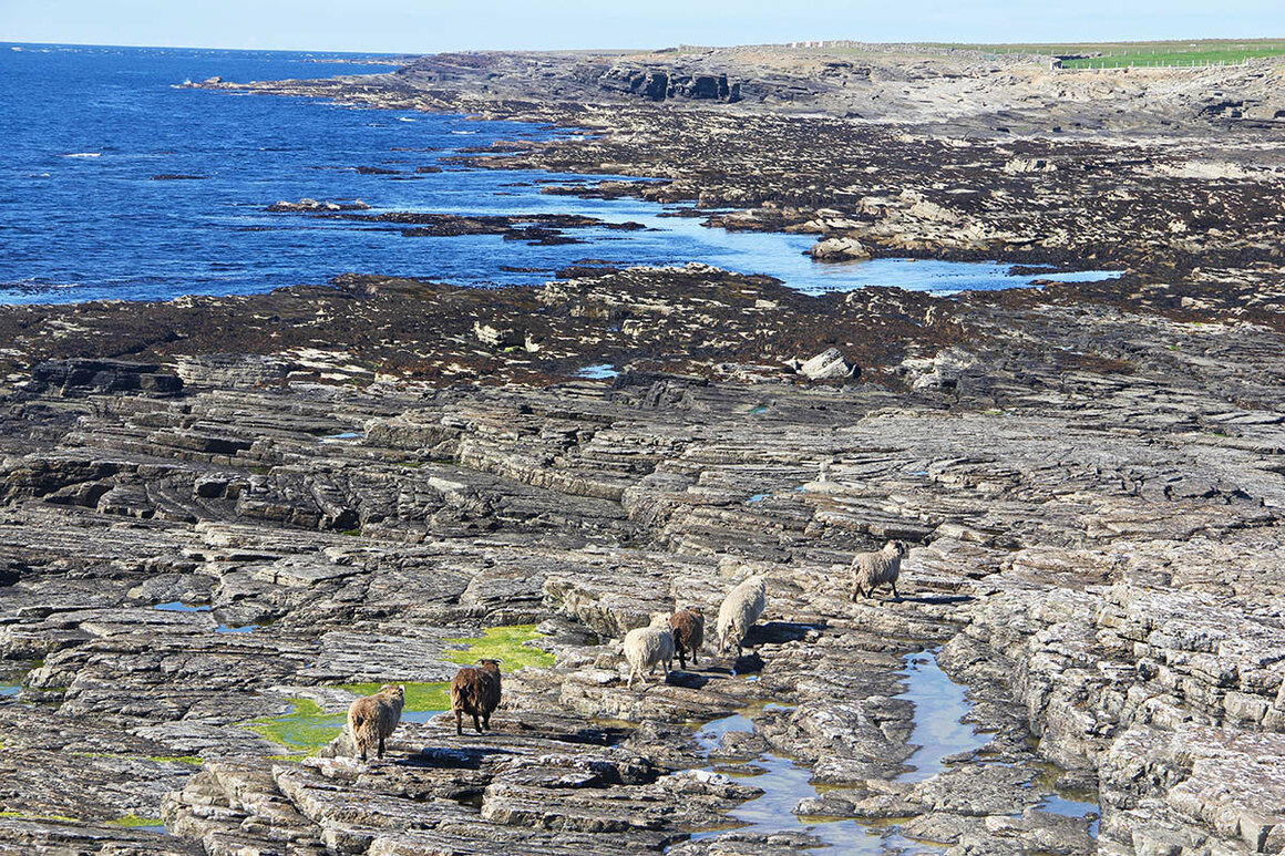 North Ronaldsay sheep are known for their thick woolly fleeces, which come in a variety of colors.