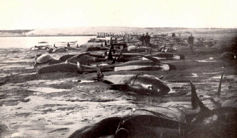 Beached pilot whales in Cape Cod, 1902. Mass strandings happen there multiple times a year.