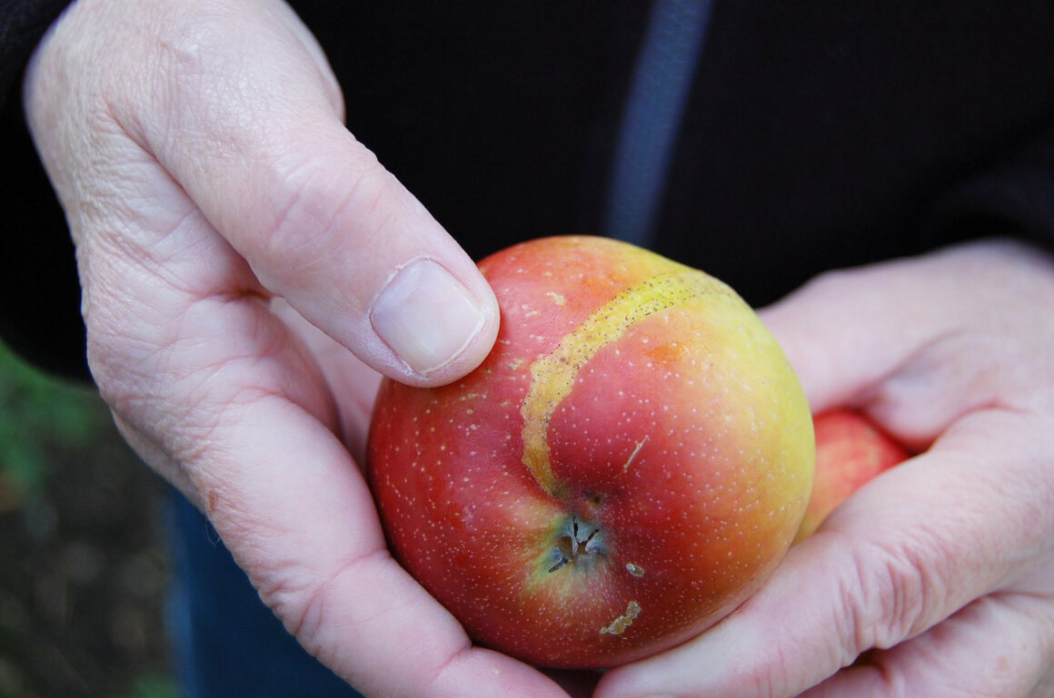 This apple shows saw fly damage.