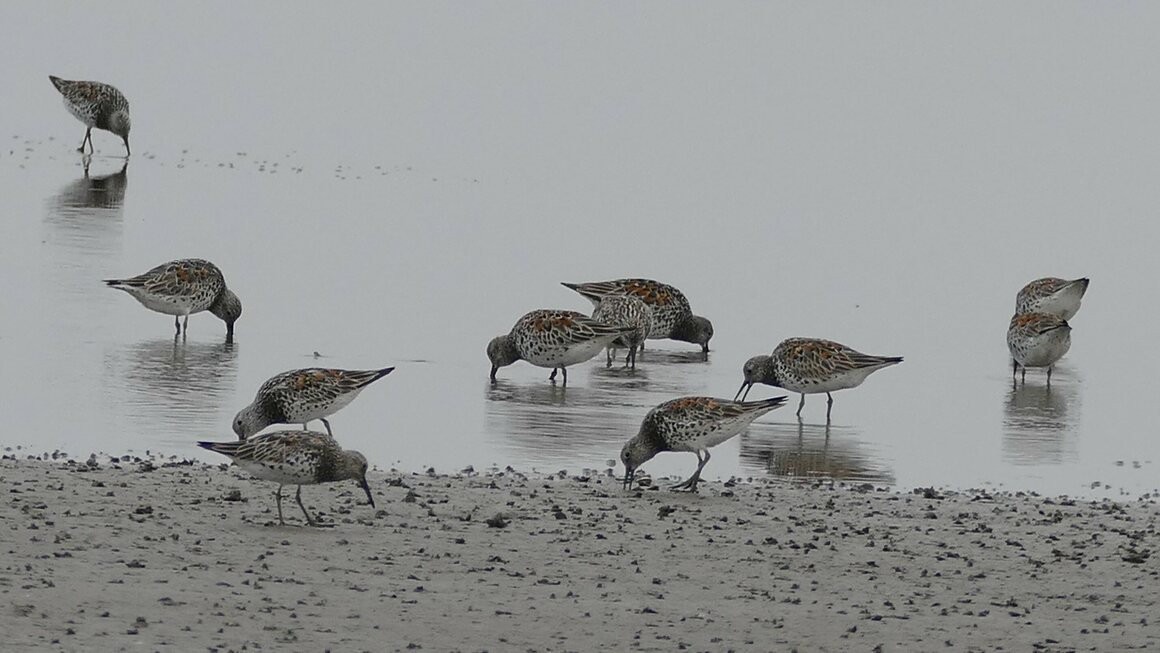 Shorebirds spend most of their non-flying time along sandy or rocky shorelines, on mudflats, and in shallow waters.