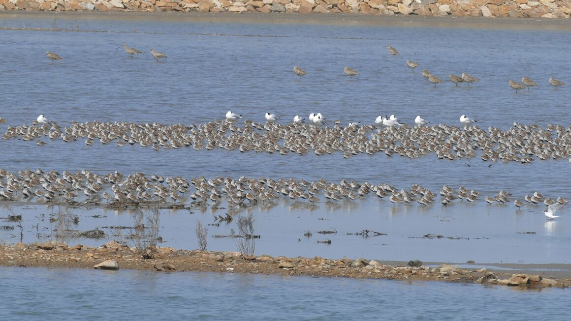 Godwits feed on marine life, worms, crabs, and shellfish before setting off once again.