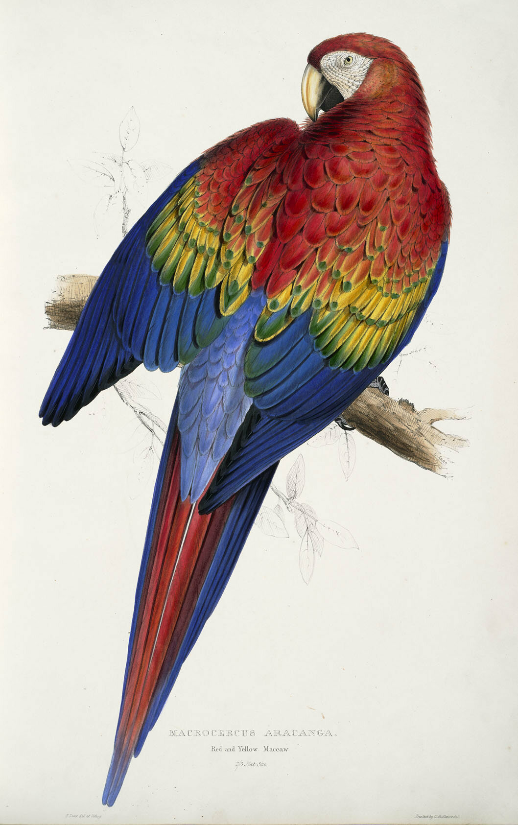 One of Lear's most critically acclaimed drawings, this red and yellow macaw appears to be slyly showing off.