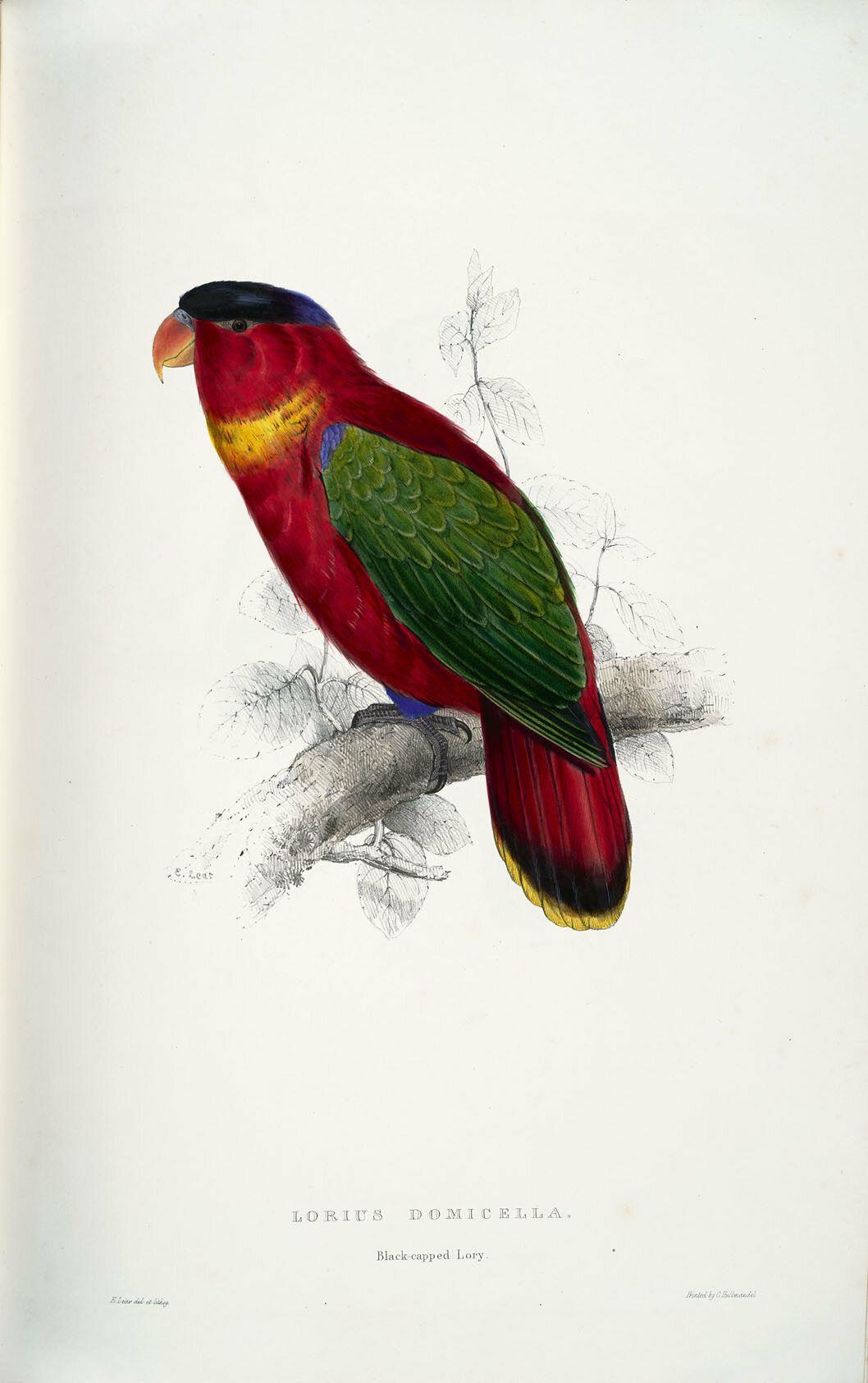 Lear eventually got the black-capped lory right.