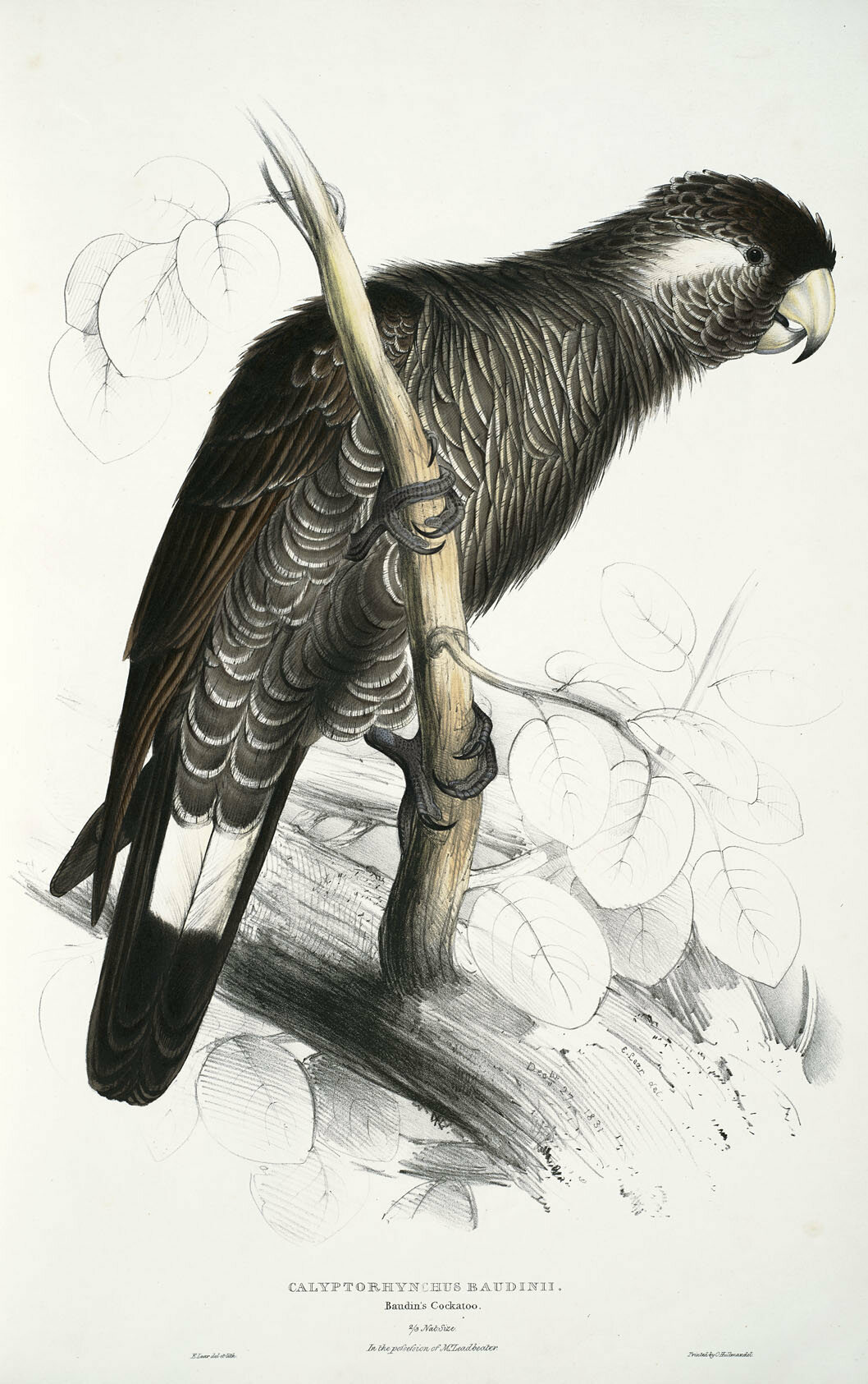 Baudin's cockatoo, a strange bird even by Lear's standards.