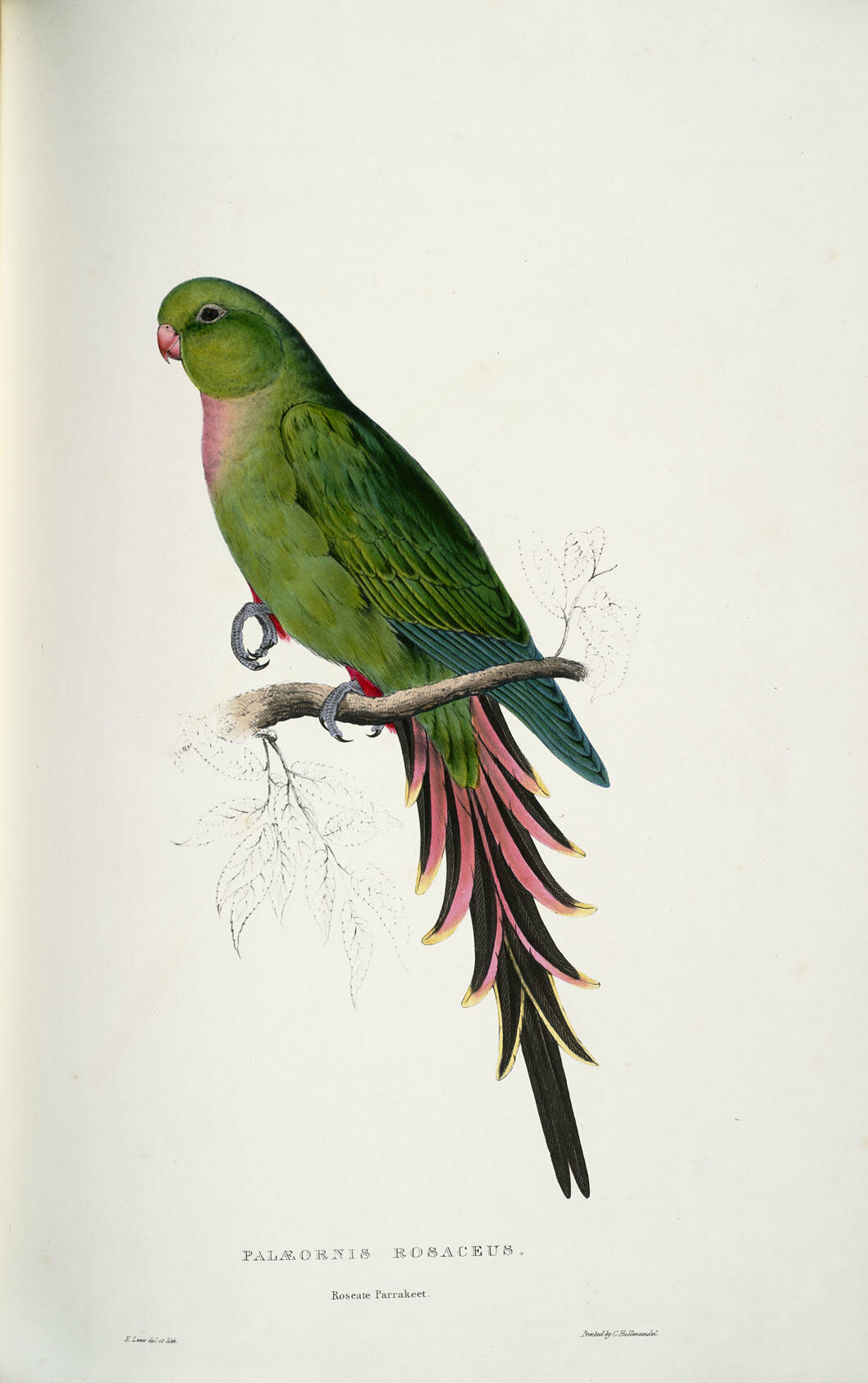 "This model, a roseate parakeet, temporarily grew curved feathers. ""After  the bird"