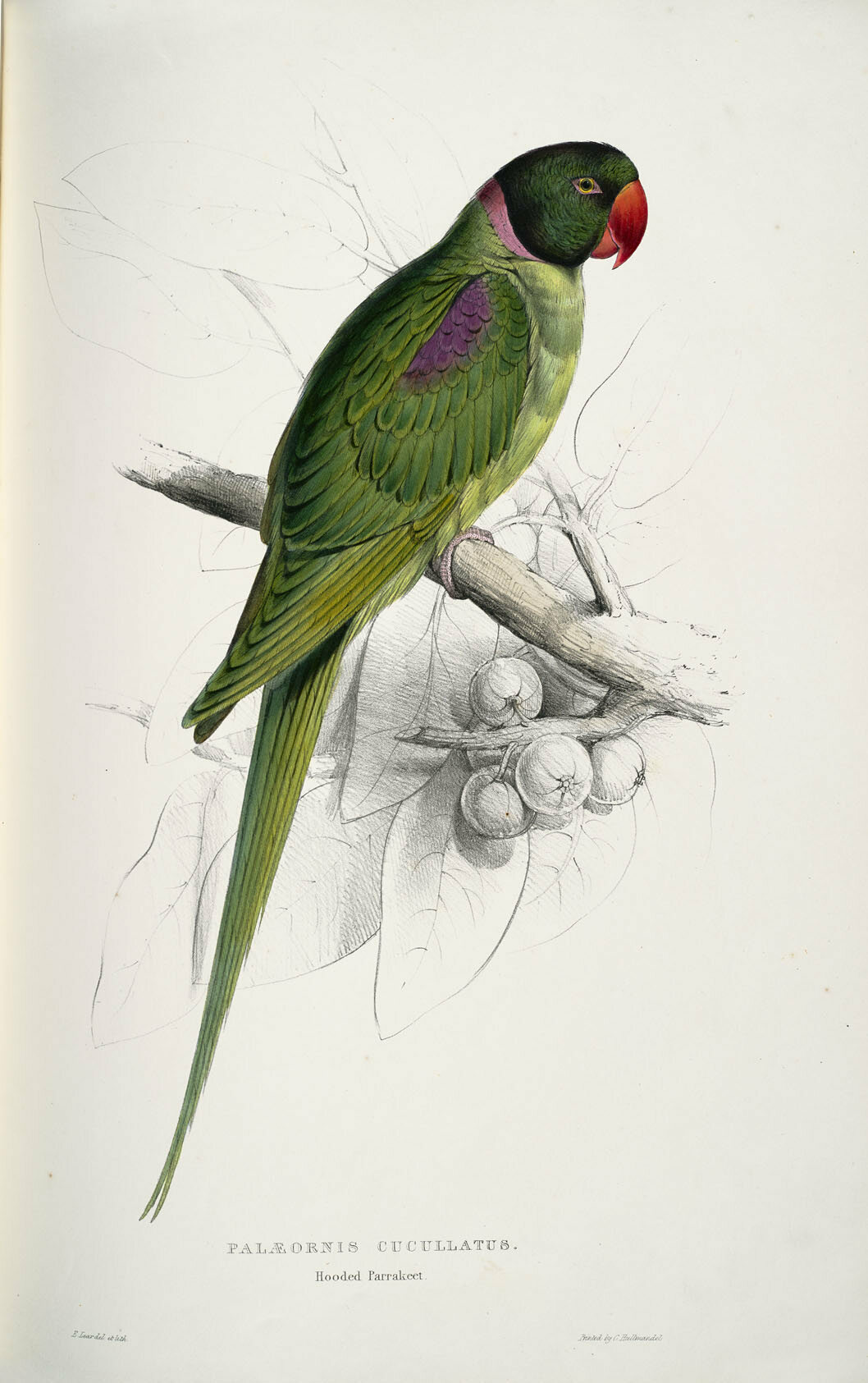 A hooded parakeet, drawn from life.