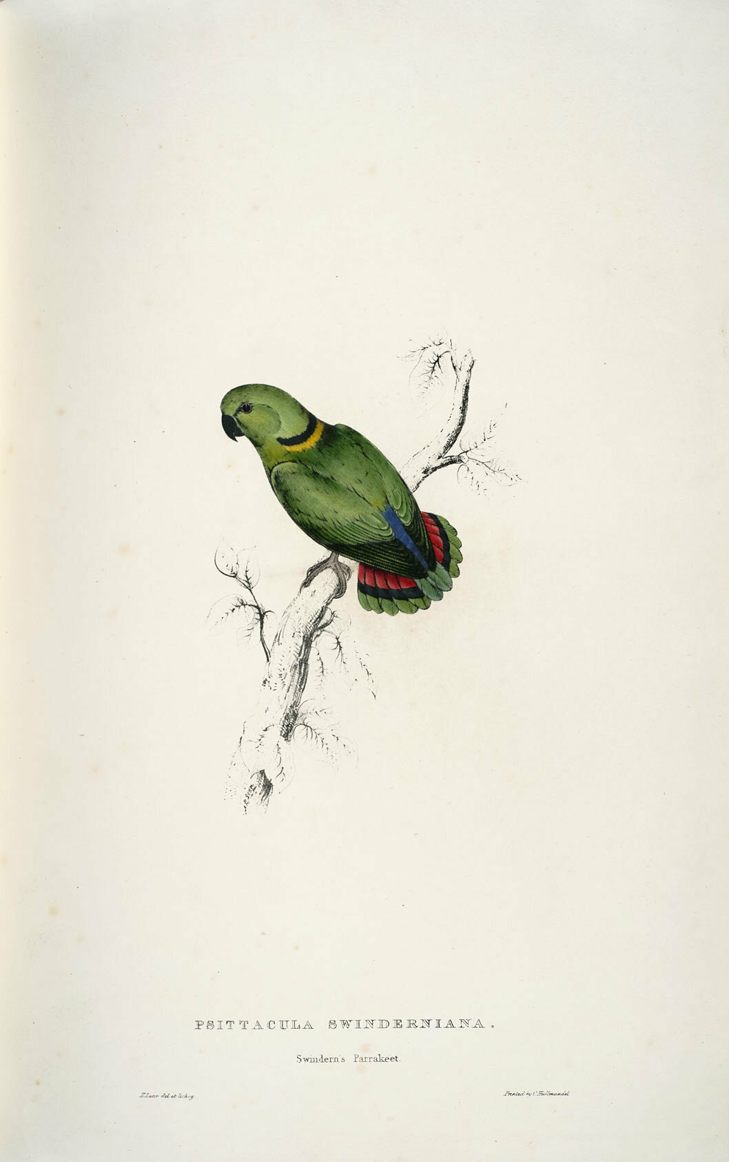 A small Swindern's parakeet shows off its plumage.