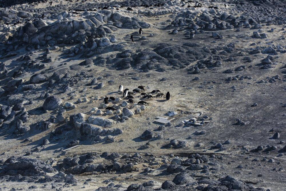 A colony of Adélie penguins.