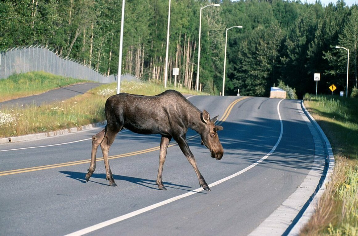 A moose crosses the road in Alaska.