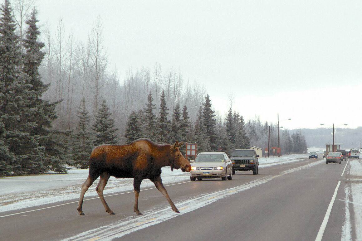 A moose crosses the Davis Highway on Joint Base Elmendorf-Richardson in Alaska.
