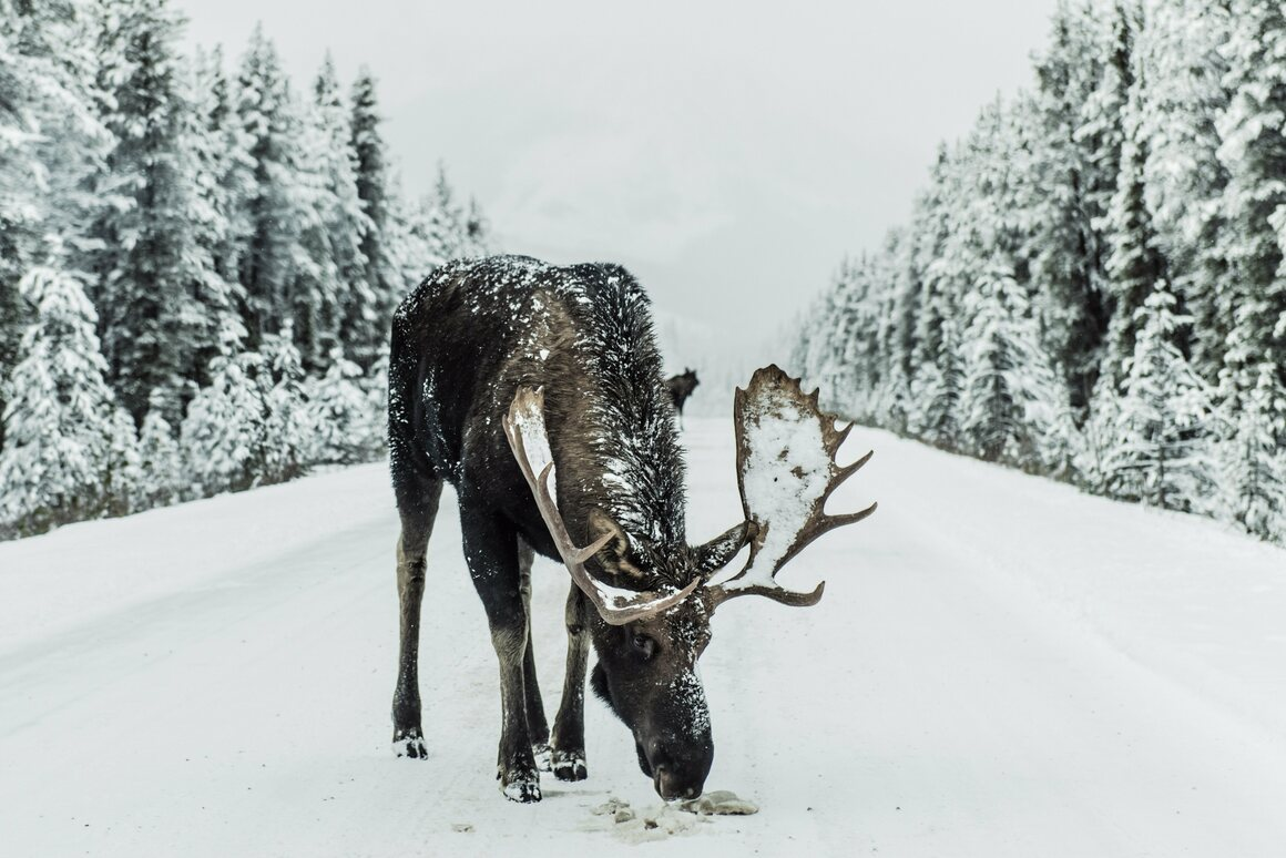 A moose eating salt and gravel off the roads.