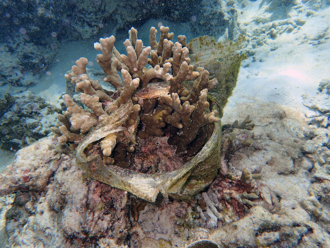 Plastic constrains spawning coral.