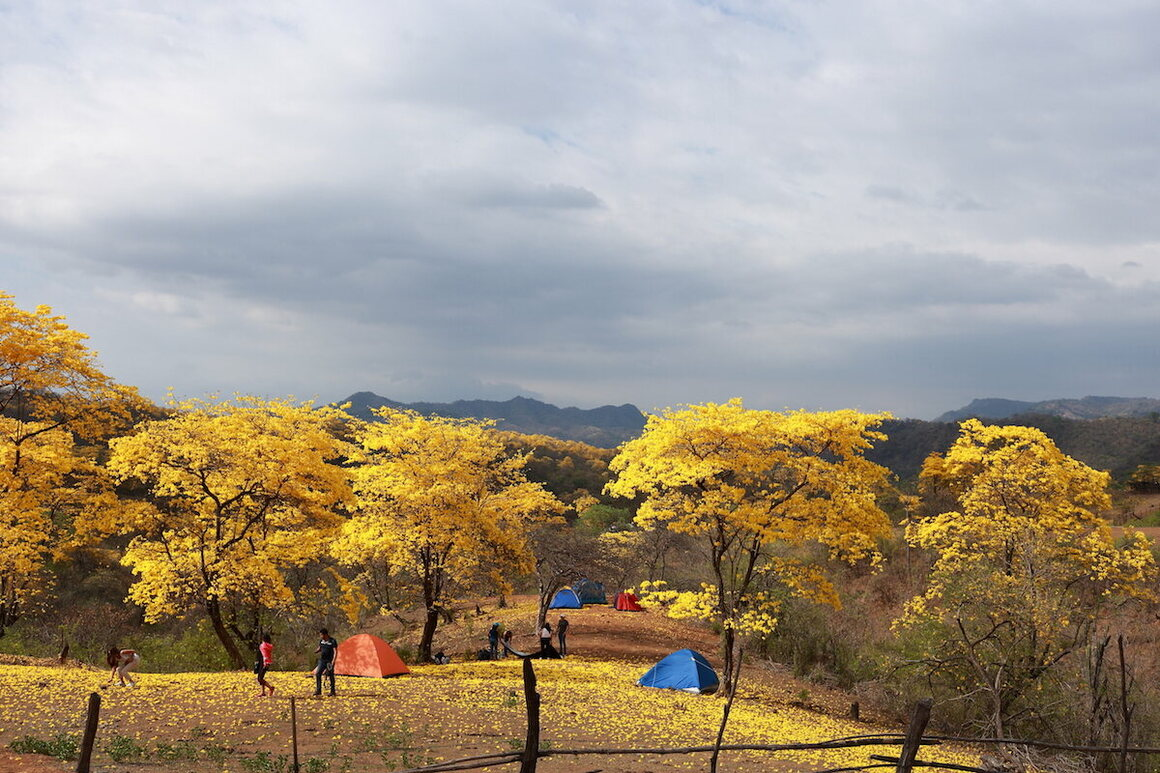 Camping is a great way to experience the blossoming of the guayacan forest up close.