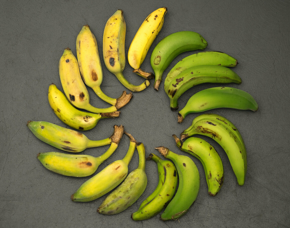 Five Photographs Of Banana In Seach Of >> A Quest For The Gros Michel The Great Banana Of Yesteryear Gastro