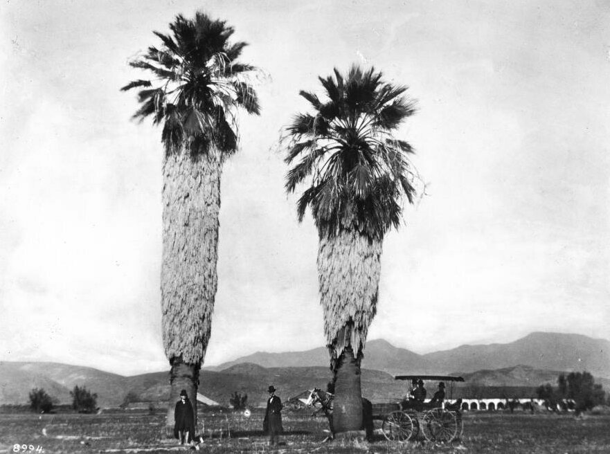Two Tall Palm Trees At The San Fernando Mission Showing A Horse And Carriage