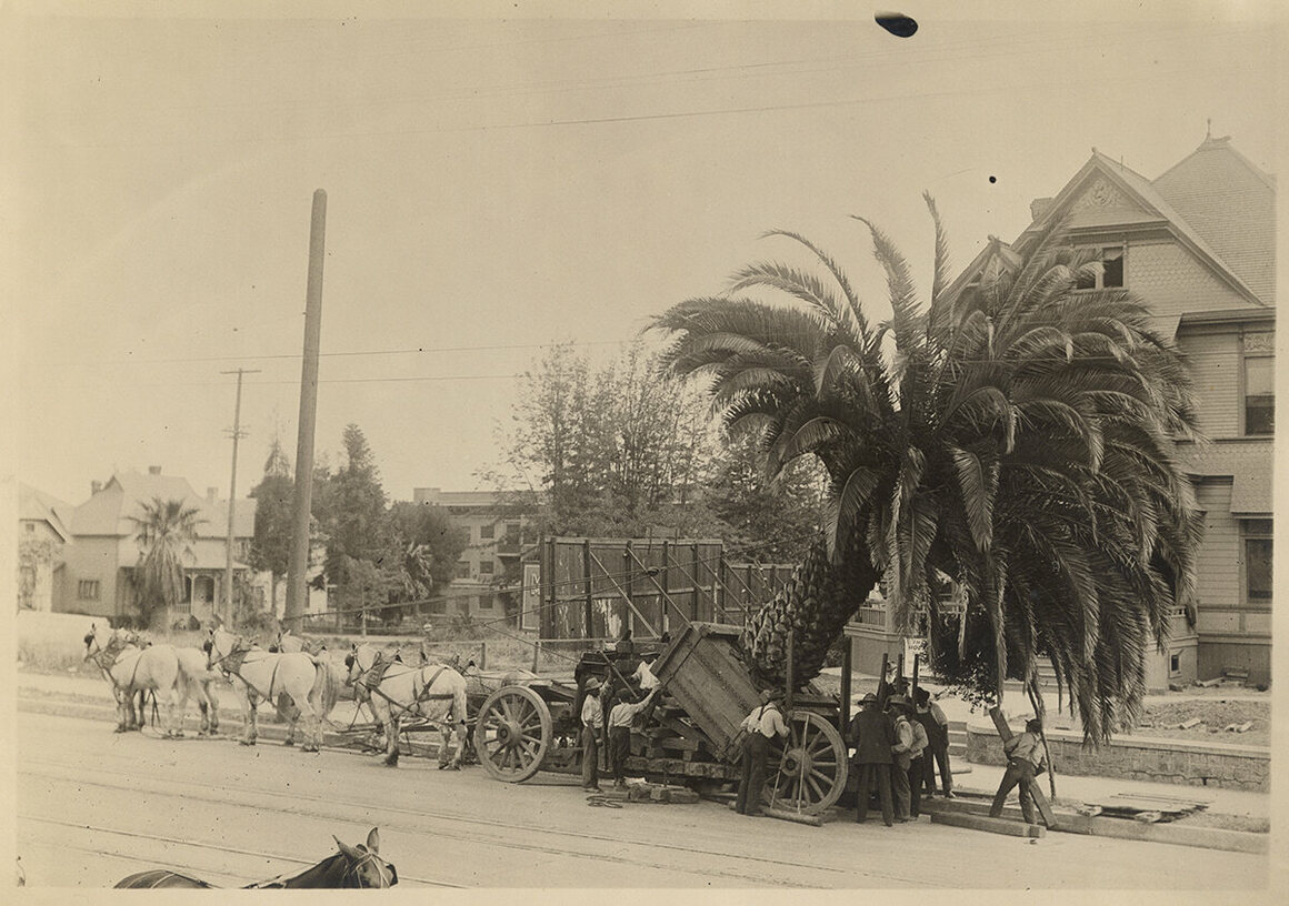 Moving a palm tree in Los Angeles, 1913.