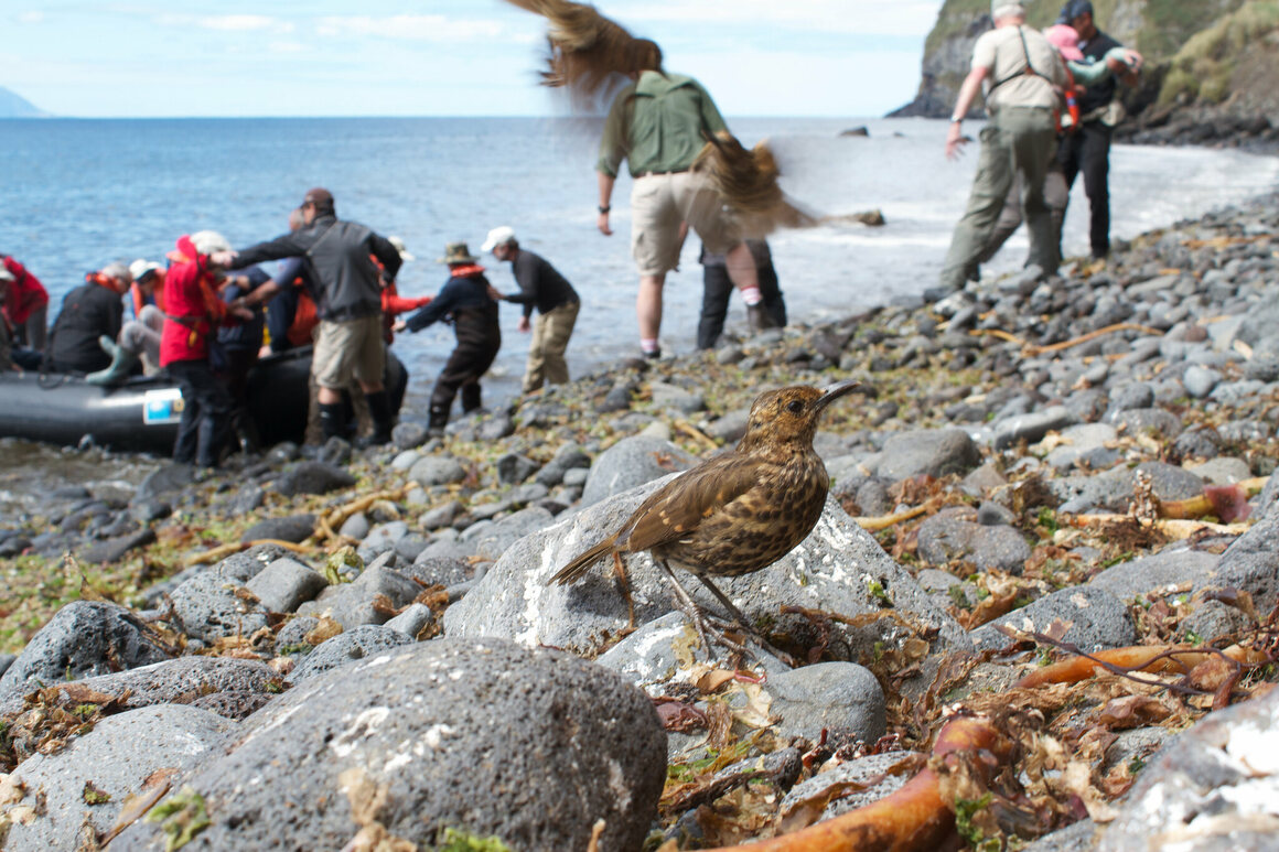 A thrush on Inaccessible's not-so-sandy shores.