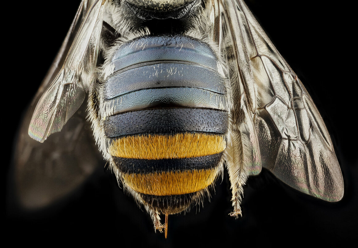 This bee from the genus <em>Lipotriches</em> was collected in Australia.