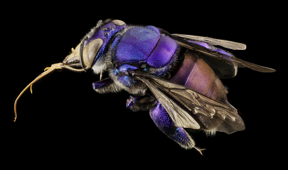 This unidentified orchid bee was collected in Guyana.