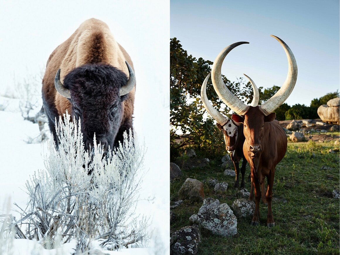 A beautiful, fuzzy bison behind a bush (left) and two Ankoles and their iconic horns (right).