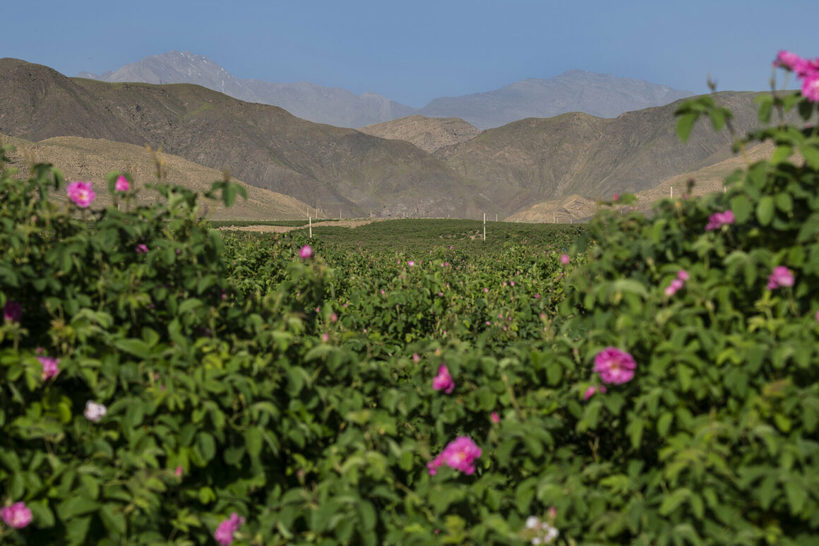 Across Qamsar, rose fields are in bloom.