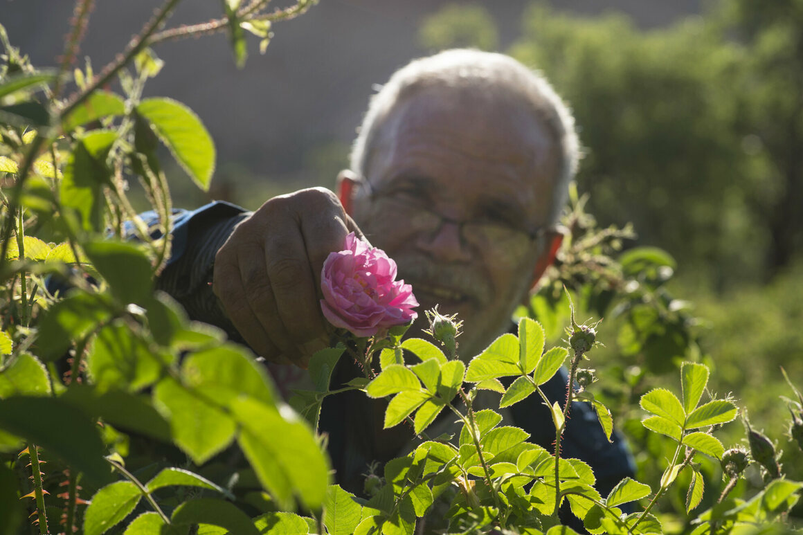 Javad Jafari, picking roses as the sun rises.