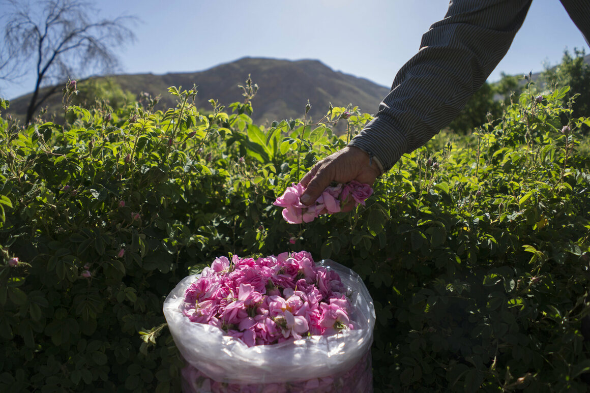 Javad Jafari has been picking roses since he was a boy.