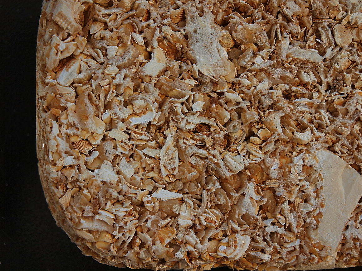 This enlarged picture of a coquina stone demonstrates the loose connectivity of the shell pieces that enable coquina walls to act more like foam than stone.