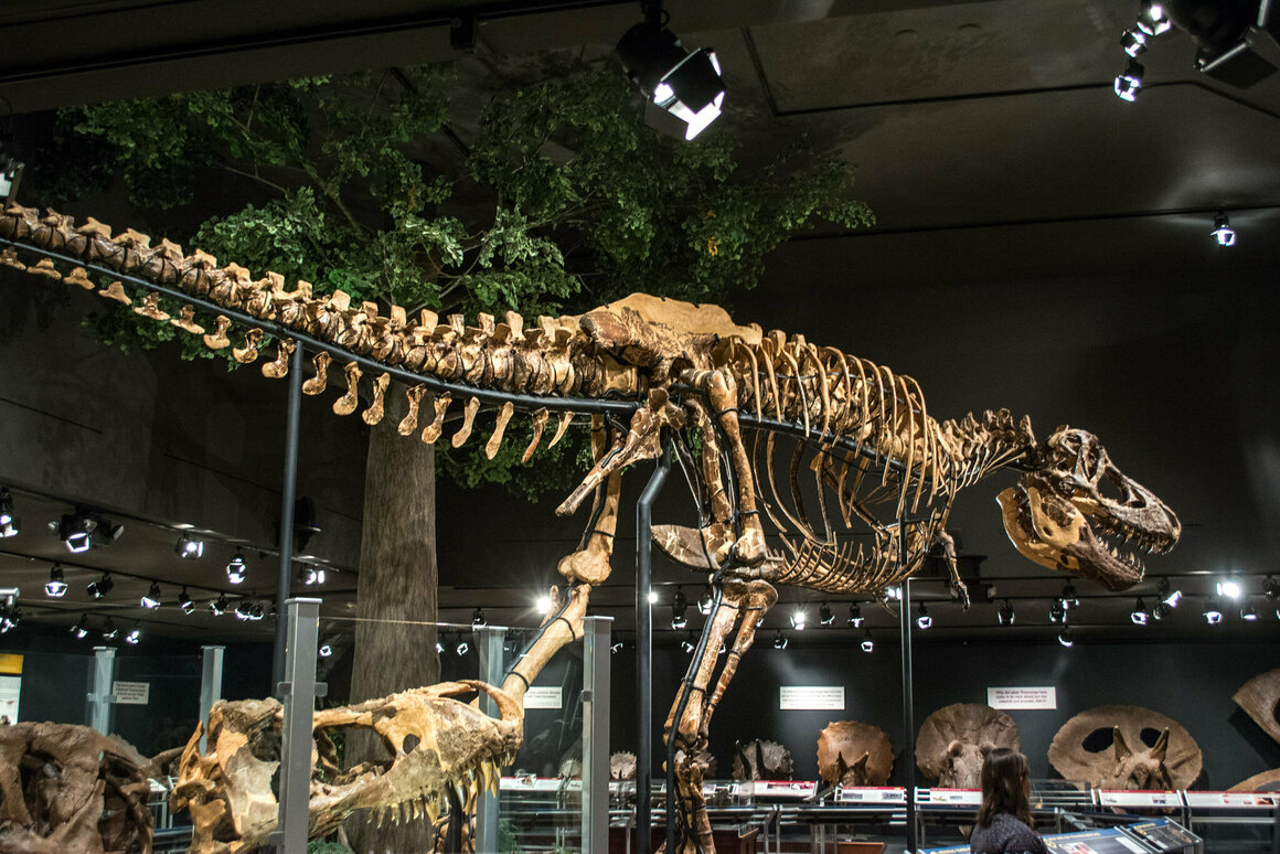 The tyrannosaurus on display at the Museum of the Rockies was found at Fort Peck in Montana.