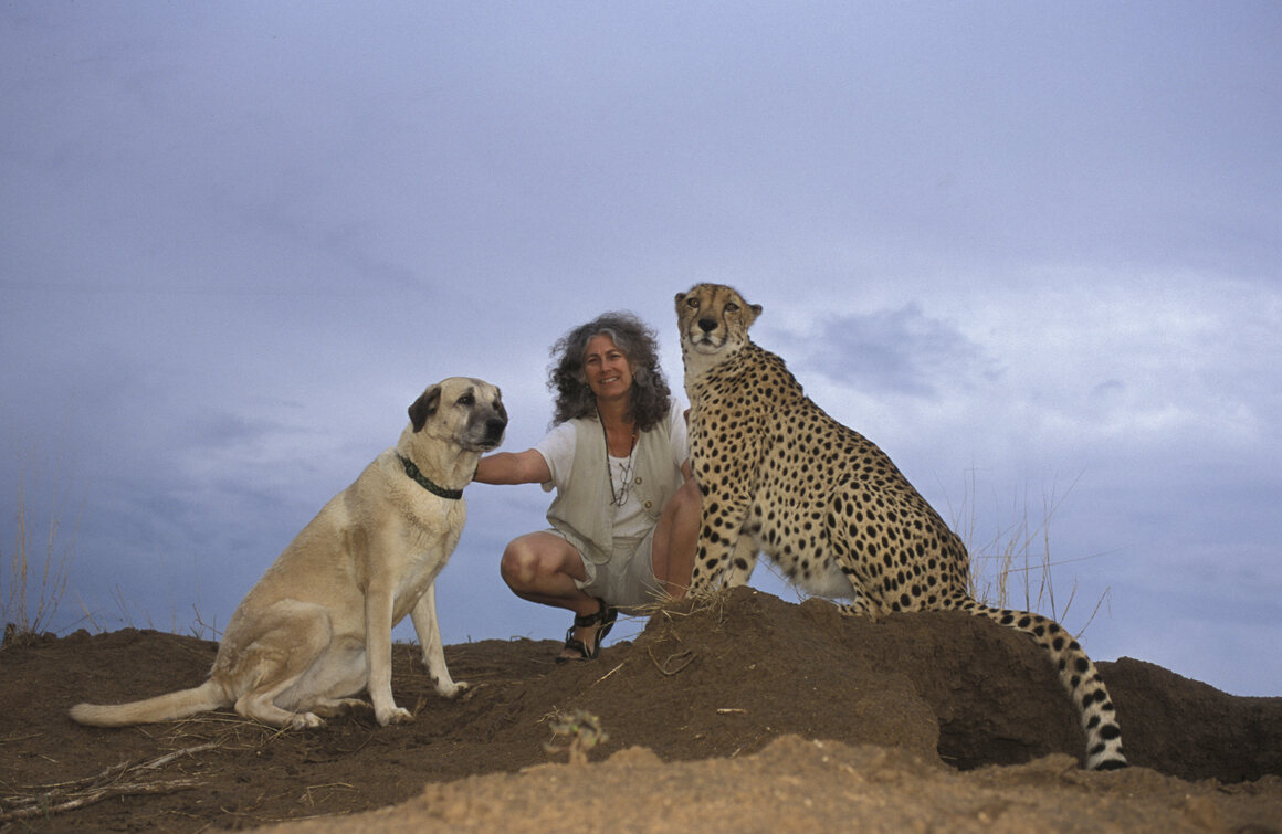 Laurie Marker—the research scientist and conservation biologist who first paired cheetahs and  support dogs—with an Anatolian shepherd named Koya and a cheetah named Chewbaaka, in 2003.