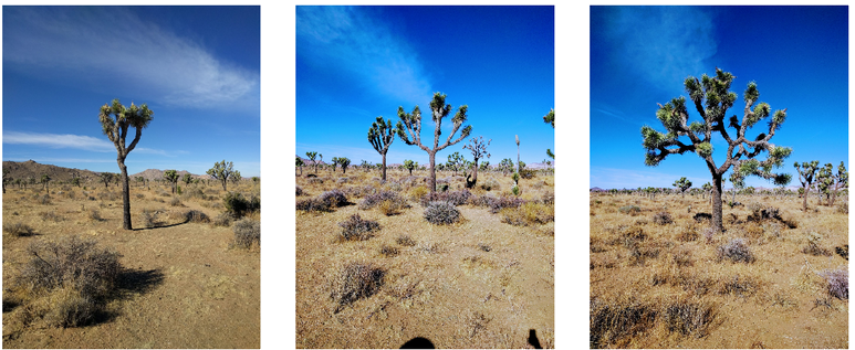 Would you swipe right on any of these fine Joshua trees?