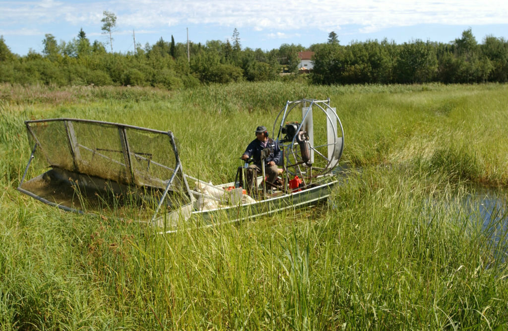 Wild rice grows thick and dense, making it hard to swim and boat.