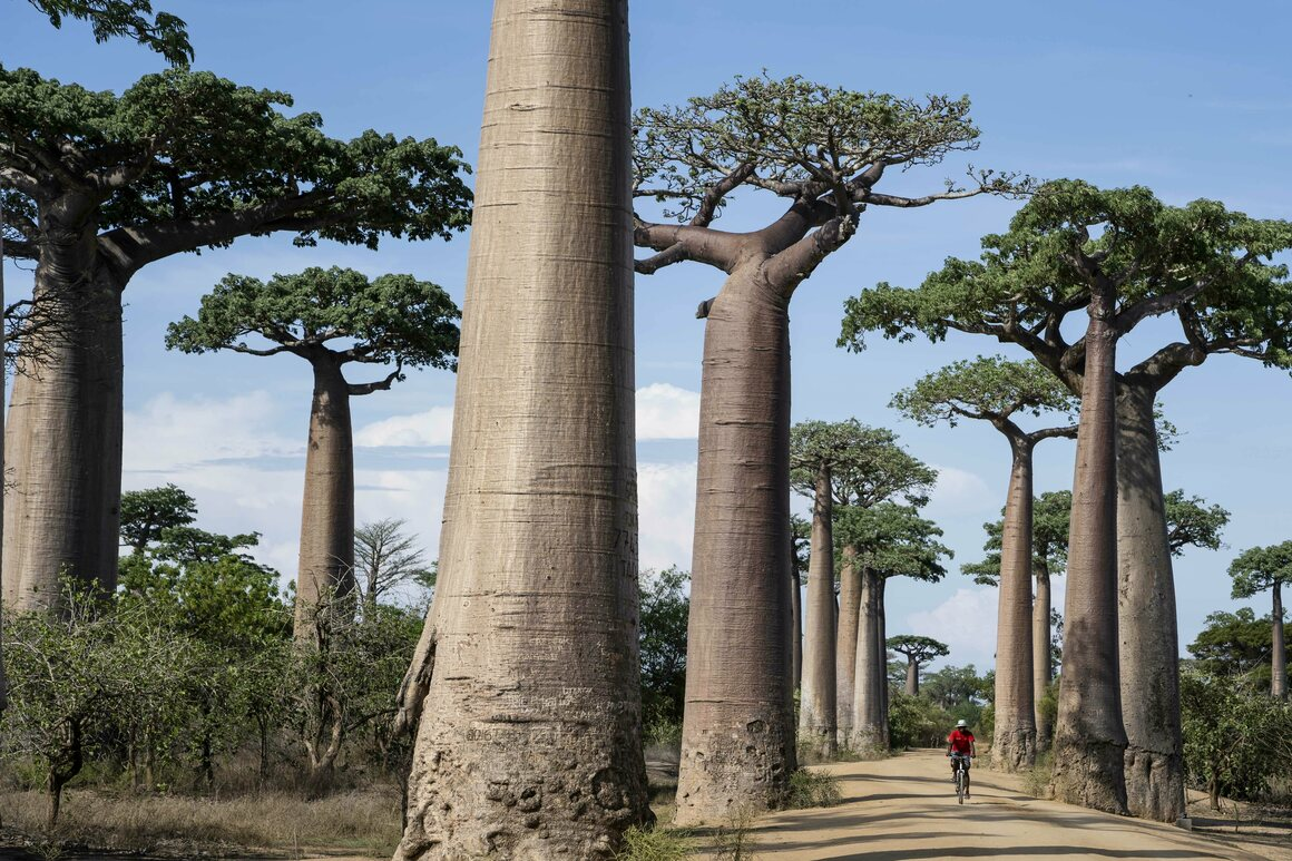 Giant baobabs line the Avenue of the Baobabs outside Morondava in the Menabe region of western Madagascar—a reminder of what the island stands to lose through deforestation.