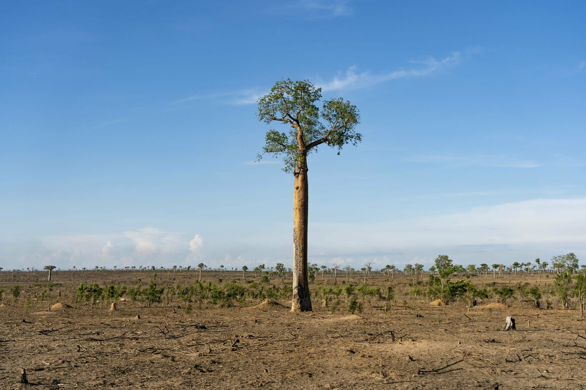 A lone baobab tree stands over a slashed-and-burned forest within Madagascar's Menabe Antimena Protected Area.